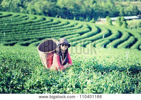 Asia Tea Women Picking Tea Leaves In Plantation
