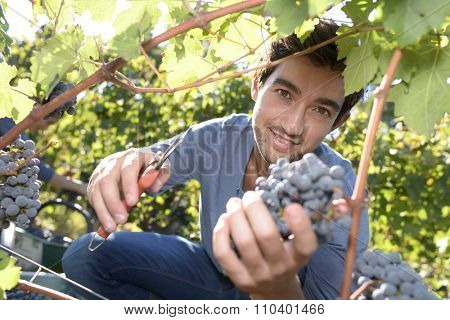 Young man cutting bunch of grape in vineyard