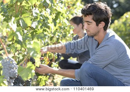 Young man in vineyard during harvest season
