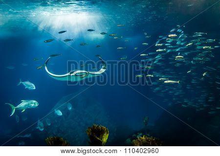 Manta Ray - Lisbon Oceanarium