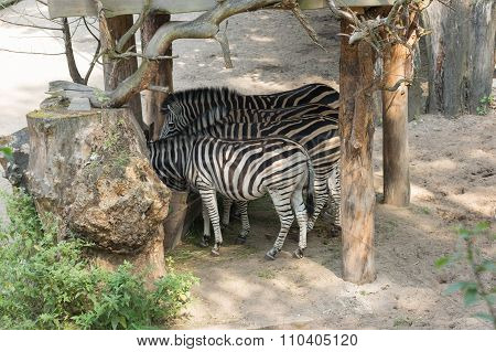 Zebras Eat From A Feeding Trough