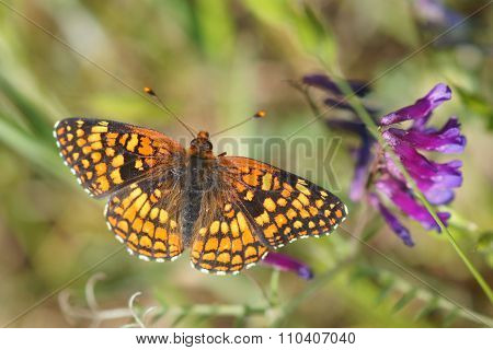 Coronis Fritillary butterfly feeds on a purple flower nectar