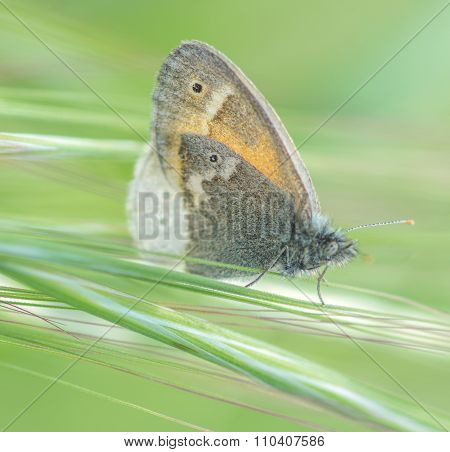 Common Ringlet butterfly in the Meadow