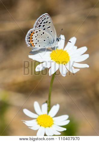 California Hairstreak butterfly on Daisy flower