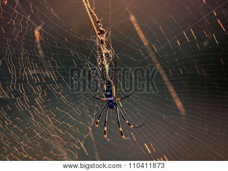 Golden Orb Spider in her web