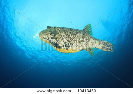 Giant Puffer fish pufferfish blowfish balloonfish