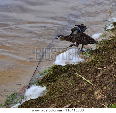 Testing The Waters: Pacific Black Duck