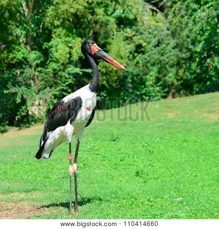 Black Stork In The Summer Park