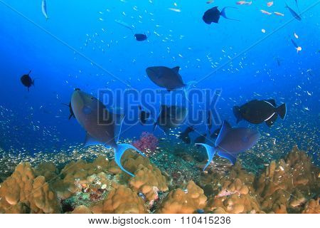 Fish on underwater coral reef: Redtooth Triggerfish