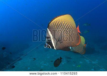 Redtail Butterlyfish