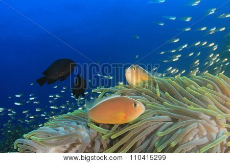 Skunk Anemonefih or Clownfish in sea anemone