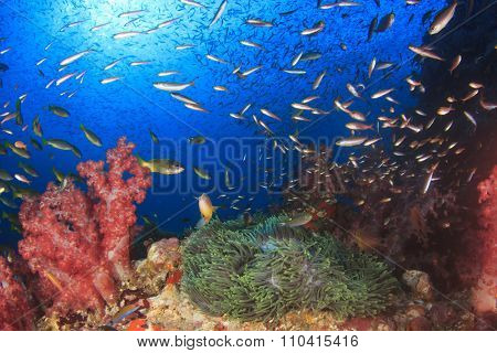 Coral and Sea Anemone and fish underwater in ocean