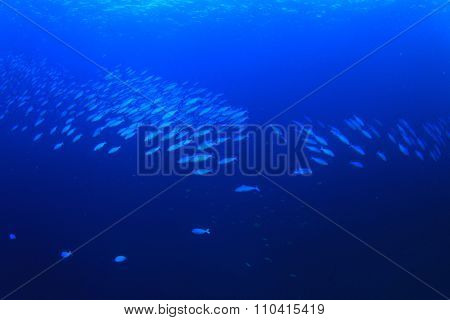Fusilier fish blue underwater background