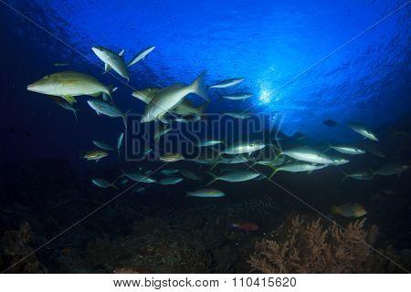 Mass swarm of predator fish hunting: Emperors. Tuna, Trevallies, Snappers, Rainbow Runners