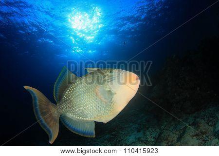 Underwater Tropical fish: Yellowmargin Triggerfish