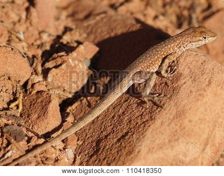 Northern Side-blotched Lizard (Uta stansburiana stansburiana) camouflages on a rock