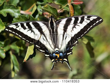 Pale Swallowtail butterfly on a tree