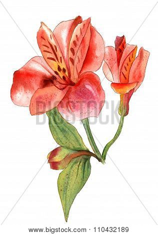 A watercolor drawing of a bright alstroemeria flower on white background
