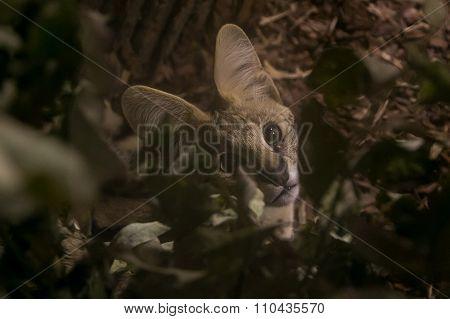 Beautiful Serval Kitten