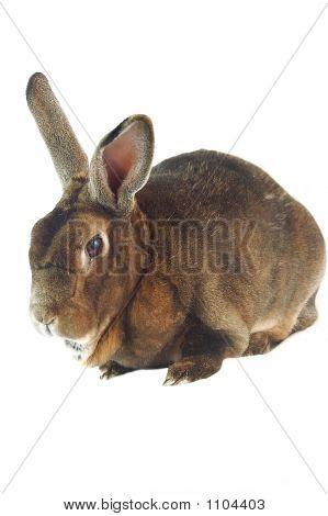 Brown Bunny