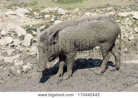 Baby Wild Boar On The Mud Floor