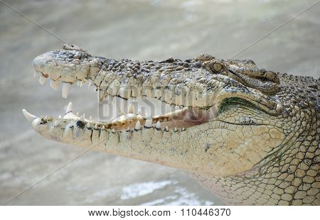Portrait Of A Crocodile With Open Mouth Close-up..