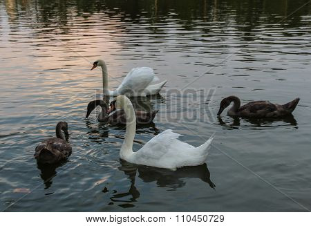 pair of swans with young swans