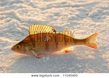 Ice Fishing Catch