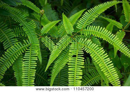 Lush Green Fish Bone Fern