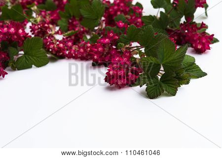 April Blooming Red Flowering Currant On White Background For Copyspace