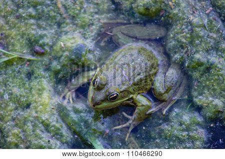 telmicolous green  frog