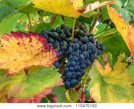 Blue grapes on a vine stock in autumn