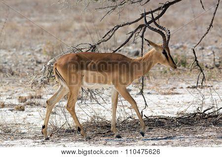 Blackfaced Impala Walking