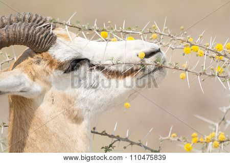 Springbok Eating Fruits Of Acacia Trees