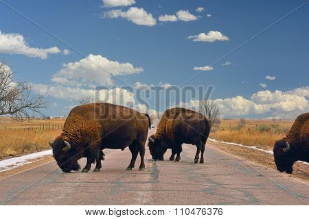 American Bison Buffalo Block A Road
