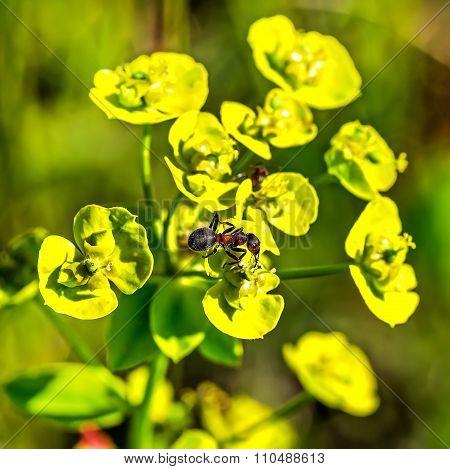 Prutevidny or Lozno Spurge (Euphorbia virgata)
