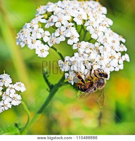 Honeybees (Apis mellifera) on a flower Yarrow (Achillea)