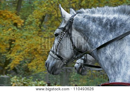 Harnessed horse in the autumn park