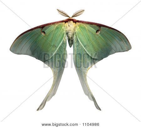 Luna Moth Is A Rare And Beautiful Sight