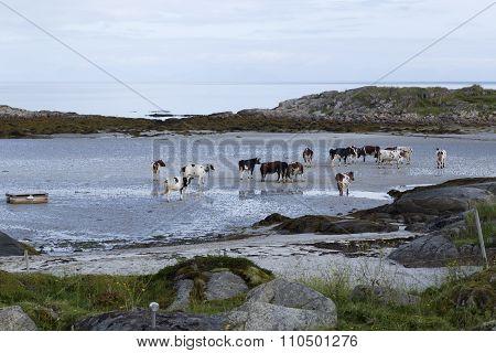 Cows, cows