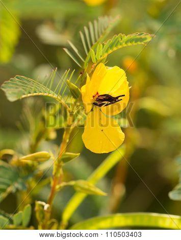 Partridge Pea, Chamaecrista fasciculata flower in summer