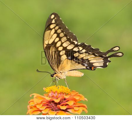 Giant Swallowtail butterfly feeding on an orange Zinnia flower