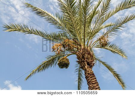 Date Palm With Bunches Of Dates