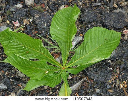 Leaf Of Chestnut (aesculus Hippocastanum)
