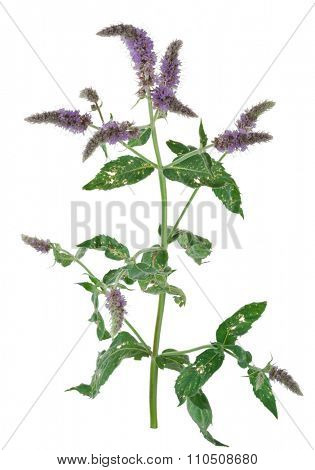 Medicinal plant: Mentha longifolia