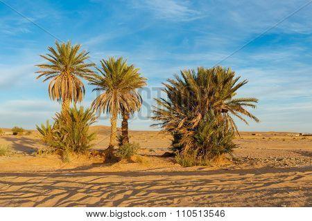 palm trees in the Sahara desert
