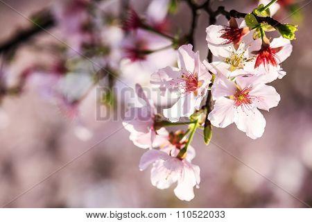 Beautiful Sakura Garden In Taipei, Taiwan