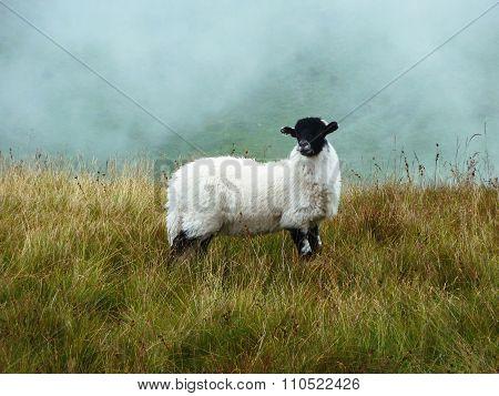 Scottish Sheep Surrounded By Fog.