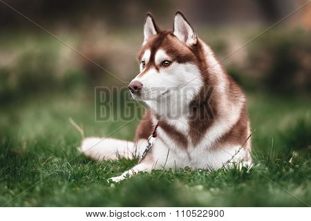 Siberian husky dog outdoors