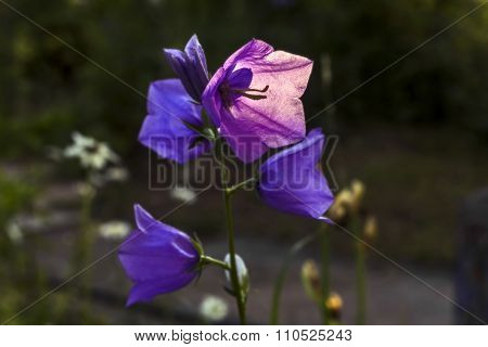 Campanula In Light
